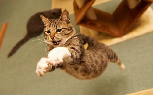 4254-Cat-Jump-(www.WallpaperMotion.com)